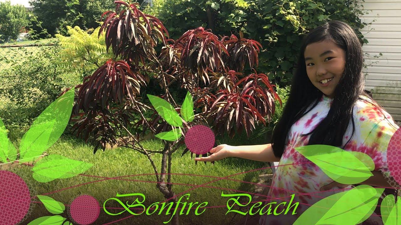 Bonfire Dwarf Patio Peach Tree (Prunus Persica)