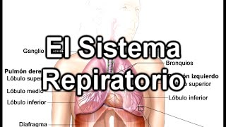 El Sistema Respiratorio - Documental de ...