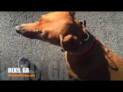 """5 Year Old Rhodesian Ridgeback Mix """"Copper"""" Before/After Video 