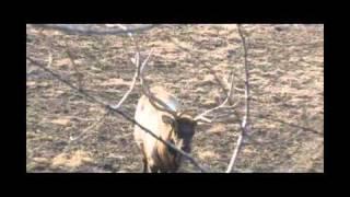 """Jared """"69"""" Allen Spears an Elk, Relentless Pursuit"""