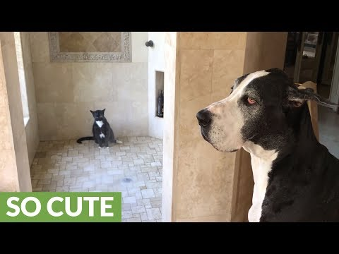 Great Dane patiently waits for cat to finish shower