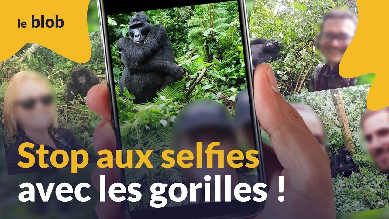 Stop aux selfies avec les gorilles ! | Actu de science