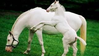 Жеребёнок, жеребёнок -  Белой лошади ребёнок