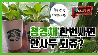 수경재배로 청경채 키우기(배추,파,양배추,샐러리,로메인…