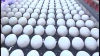 Scientists Explain Egg Salmonella Outbreak