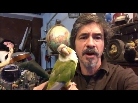 Bird Training, clip those wings,  Pineapple Conure