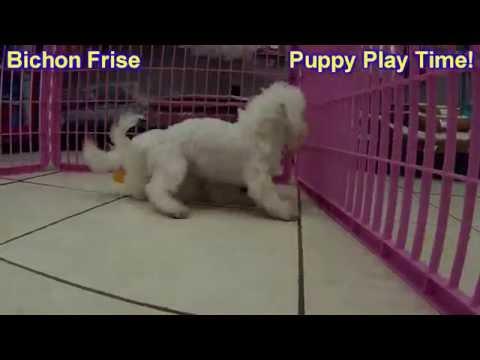 Bichon Frise, Puppies, For, Sale, In, Anchorage, Alaska,AK, Fairbanks, Juneau, Eagle River