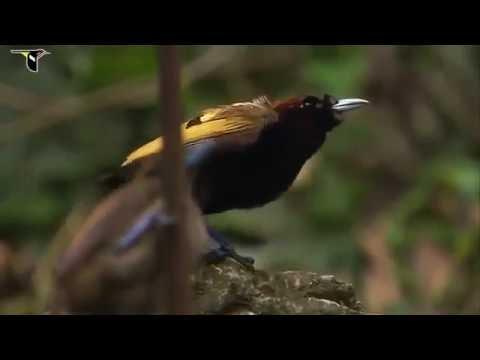 burung syurga dengan suara terindah