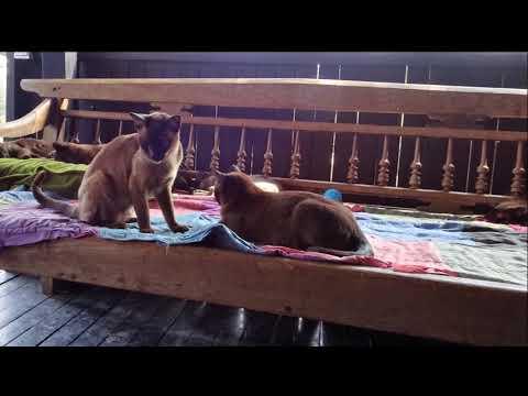 Burmese Cat Village at the Inle Lake, Myanmar. Деревня бурманских кошек