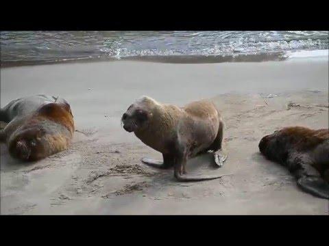 Mar del Plata in Argentina (200 wild seals)