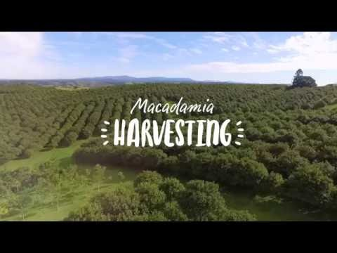 Macadamia Harvesting