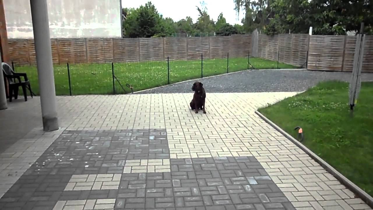 chien boxer au dressage - YouTube