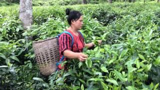 Tea Plantation tour near Lisu Lodge