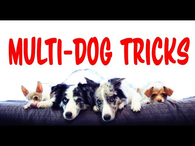 Amazing Multi Dog Tricks!