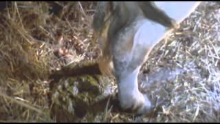 Страус с коровой обосрались