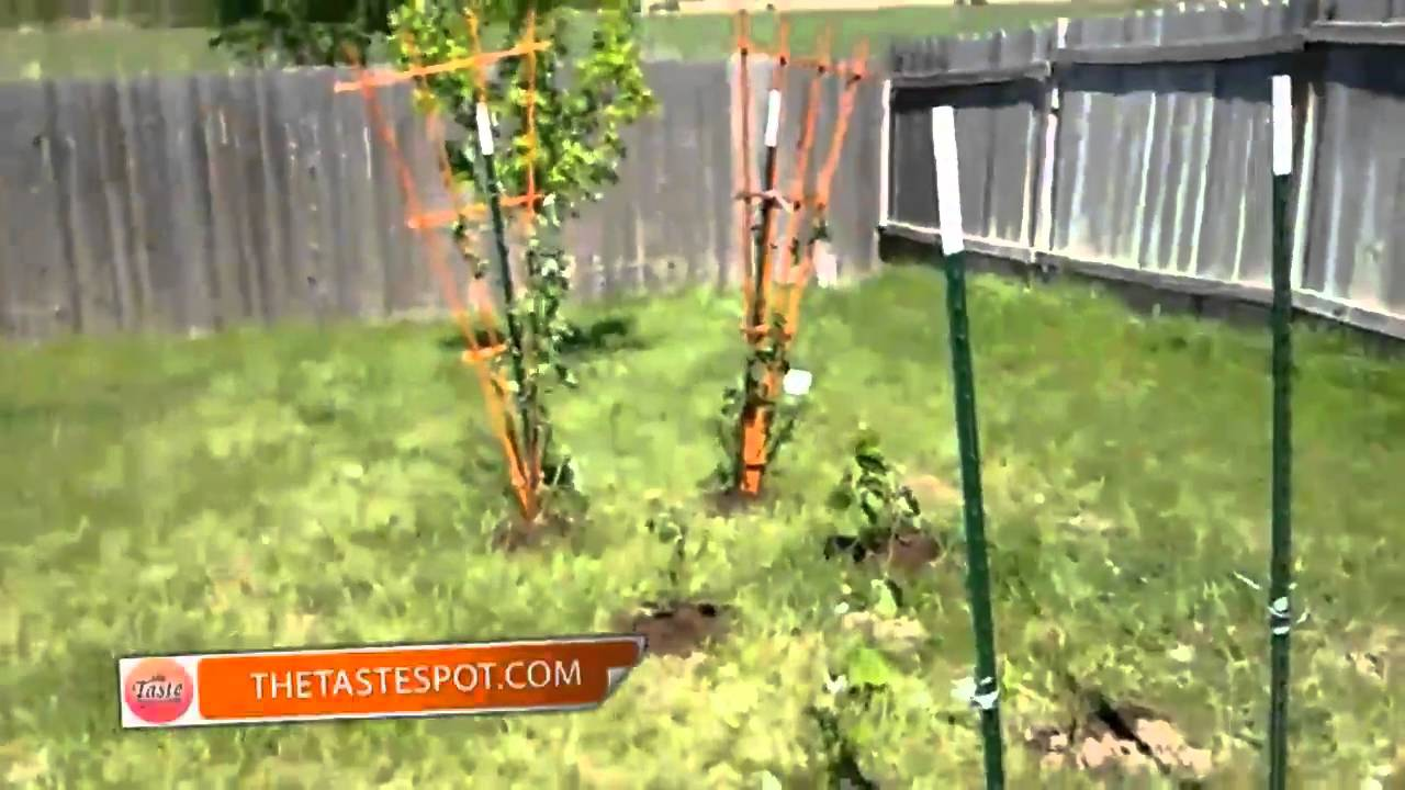 starting a home vineyard the daily taste youtube