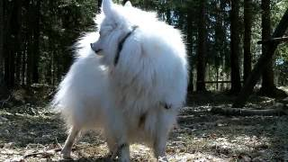 The Japanese Spitz (日本スピッツ, Nihon Supittsu) is a small to med...