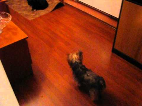 yorkshire terrier vs black cat