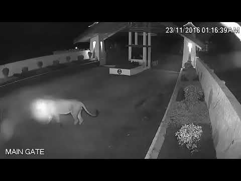 3 Lion in hotel in sasan gir national park