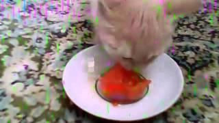 кот и соленый помидор
