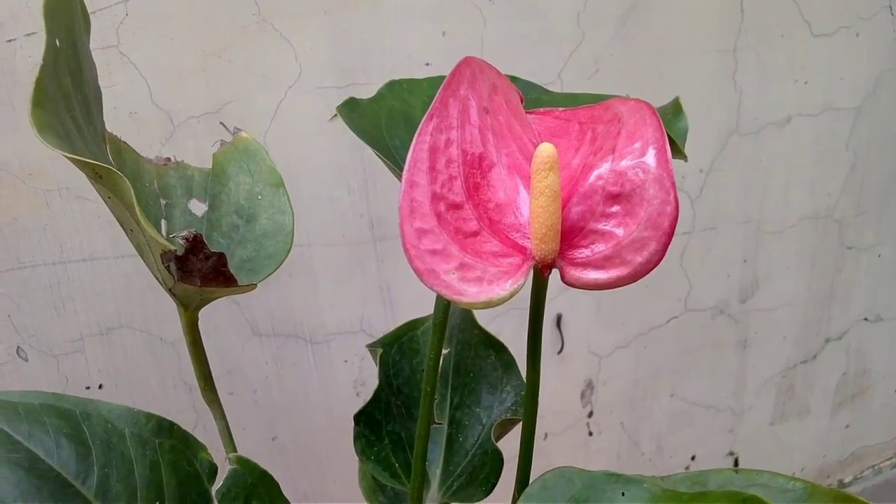 How to grow anthuriums plants care and tips all about anthurium how to grow anthuriums plants care and tips all about anthurium plants in hindi and urdu izmirmasajfo