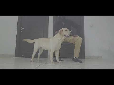 labrador-retriever-||-davidoff-kennel-||-scoobers