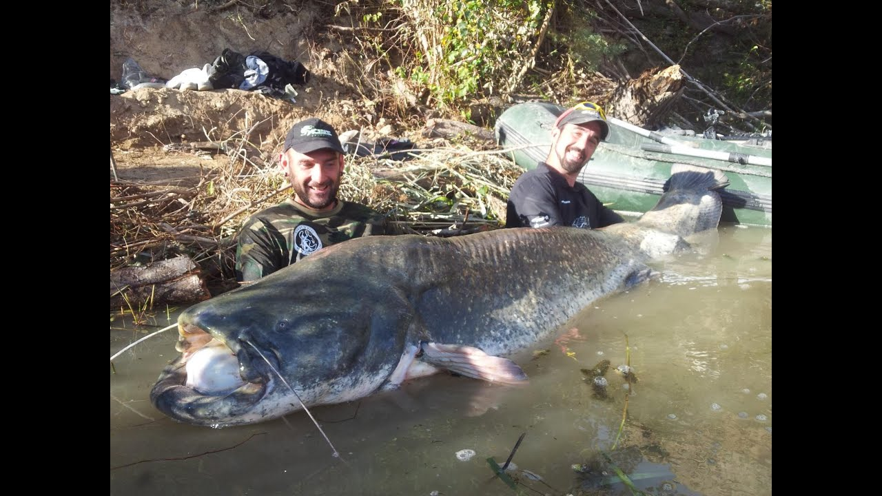 MONSTER OF THE RIO EBRO CATFISH 8.20 FEET - HD by ... - photo#12