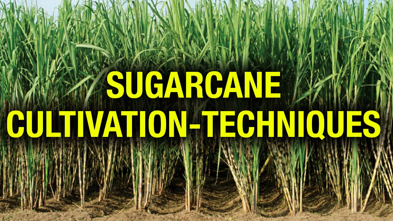 cultivation techniques of sugar cane agricultural