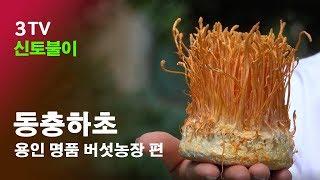 용인 명품 동충하초농장 방문영상 동충하초효능,  동충하…