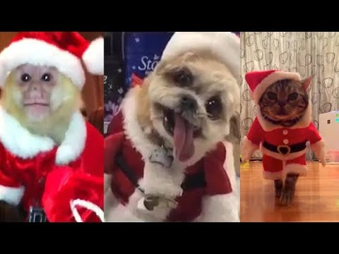 Top 10 Cute Animals Dressed Up As Santa Cats And Dogs Dressed As
