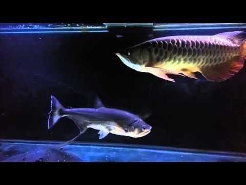 Payara Vampire Fish 16inch