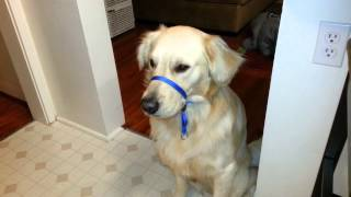 English Cream Golden Retriever - Training Him To Ignore Gentle Leader Collar - Catching Two Treats