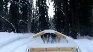 疾走 アラスカンハスキー犬が曳く犬ぞりツアー 搭乗編 フェアバンクス郊...