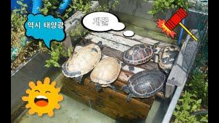 쿠터거북 페닌 거북  야외 연못 일광욕 !!!!!!!!