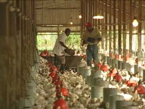 Always 4 Ways For Profitable Broiler Production In Jamaica