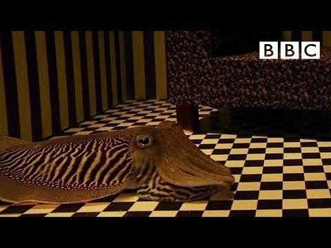 Can Cuttlefish Camouflage In A Living Room? | Richard Hammond's Miracles Of Nature - BBC