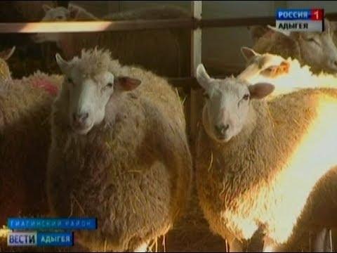 В Гиагинском районе работает единственная в Адыгее племенная овцеводческая ферма