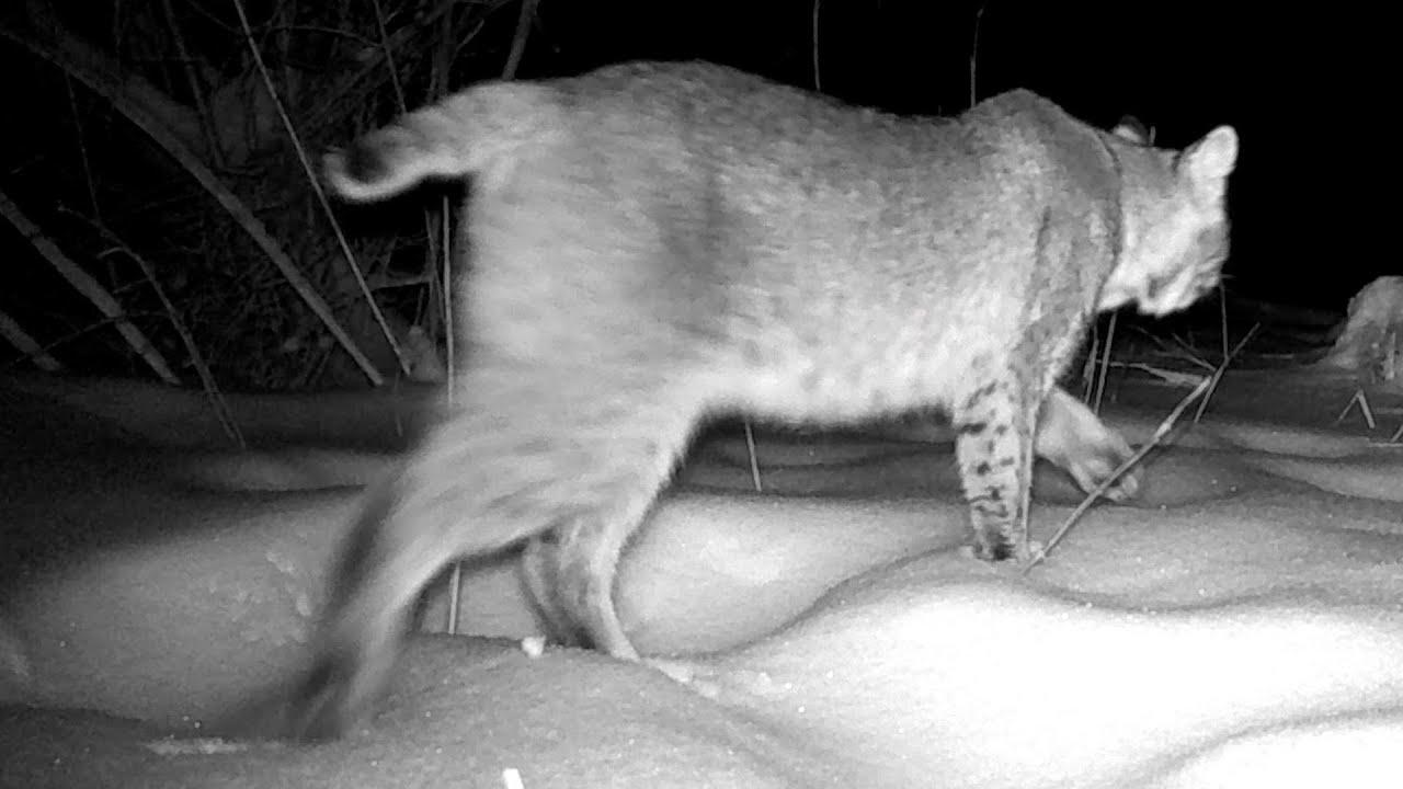 Bobcat on trail cameras very close