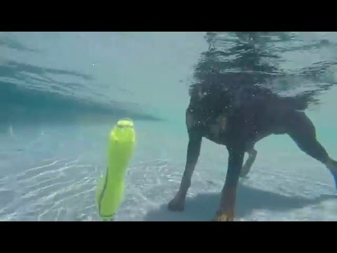 Doberman Pinscher Jackson learns to dive underwater for dog toys in swimming pool