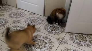 КФЛ 1,5 месяца охотится на кошку