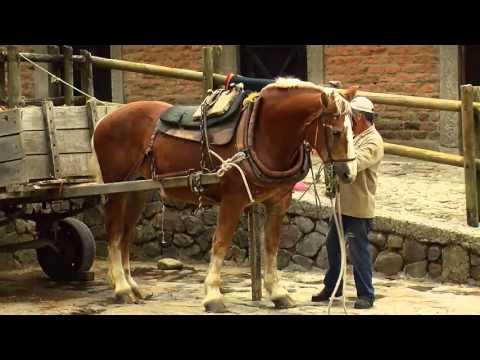 How To Breed Draft Horses - Percheron - Blegium Horse -TvAgro By Juan Gonzalo Angel