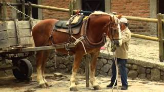 How to Breed Draft Horses - Percheron - Blegium Horse -TvAgro by Juan Gonzalo Angel