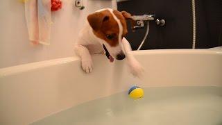 大好きなボールを何とかして獲ろうと必死です。 http://www.jacktamao.n...