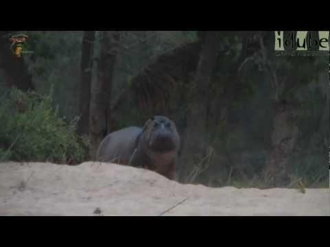Hippo Walk By #youtubeZA