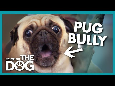 pug-rules-the-house-with-fear-|-it's-me-or-the-dog