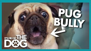 Pug Rules the House With Fear | It's Me or the Dog