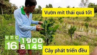 Cách trồng cây mít xanh tốt, không mắc bệnh | VTC16