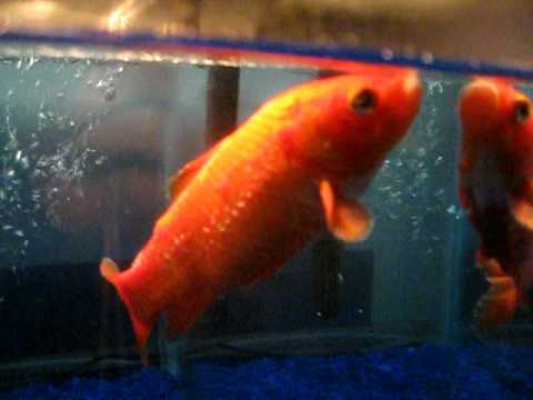 Goldfish with extreme ick youtube for Fish ick treatment