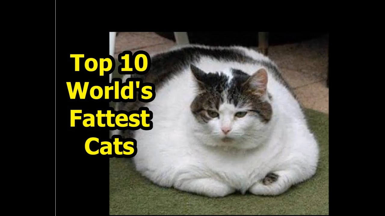 the worlds fattest cats guinness world records youtube
