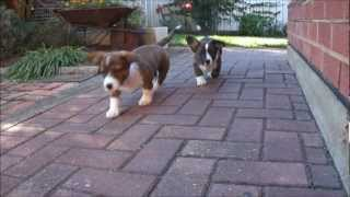 Cute Puppies' Floppy Ears In Slow Motion (cardigan Welsh Corgi's Fos And Ebo; 10 Weeks Old)